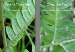 Photos of Virginia Chain Fern and Cinnamon Fern